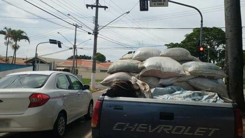 Motorista é flagrado transportando búfalo na caçamba de caminhonete em Itapetininga, SP