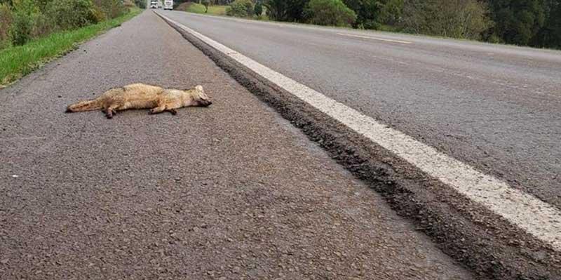 Nova legislação obriga motoristas de Mogi socorrem os animais atropelados / Reprodução - Redes Sociais