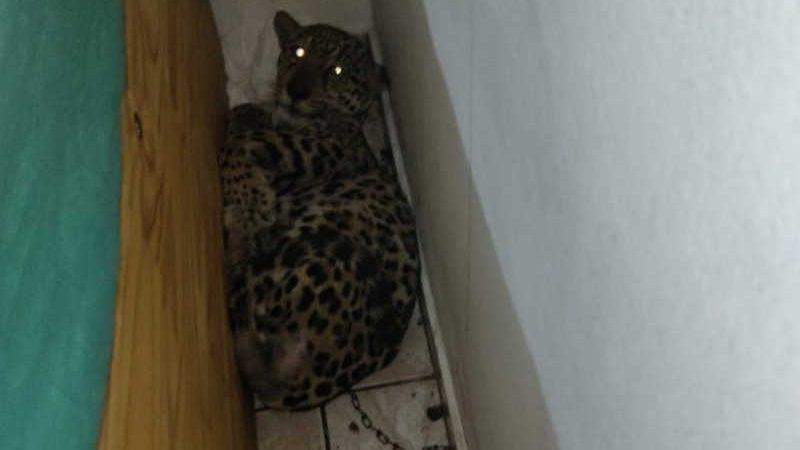 Filhote de onça-pintada foi encontrada em canto de um cômodo de residência em Peruíbe, SP — Foto: Divulgação/PM Ambiental