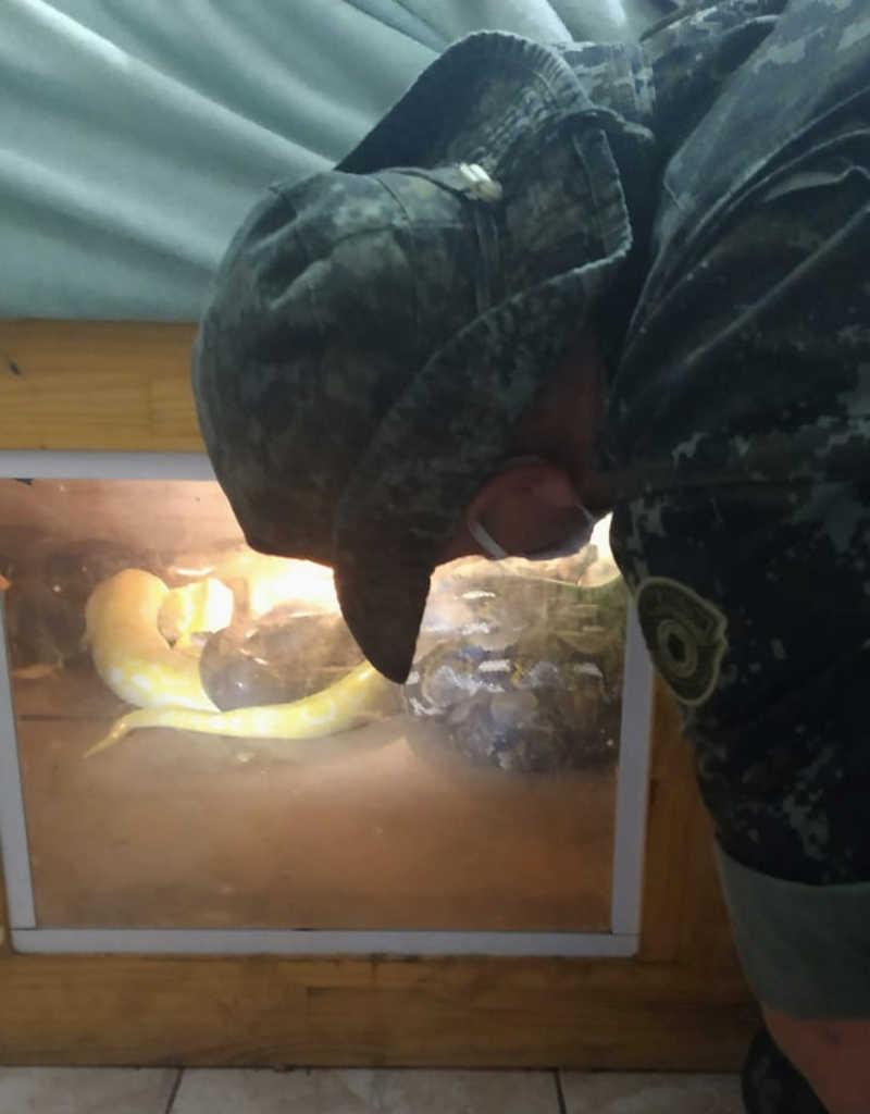 Cobras foram localizadas em residência em que casal estava em Peruíbe, SP — Foto: Divulgação/PM Ambiental