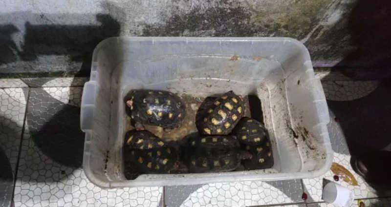 Jabutis foram localizados em residência em que estava casal suspeito de tráfico de animais — Foto: Divulgação/PM Ambiental