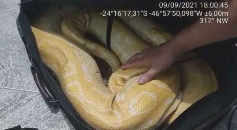 Cobra foi encontrada fechada dentro de mala em Peruíbe, SP — Foto: Divulgação/PM Ambiental