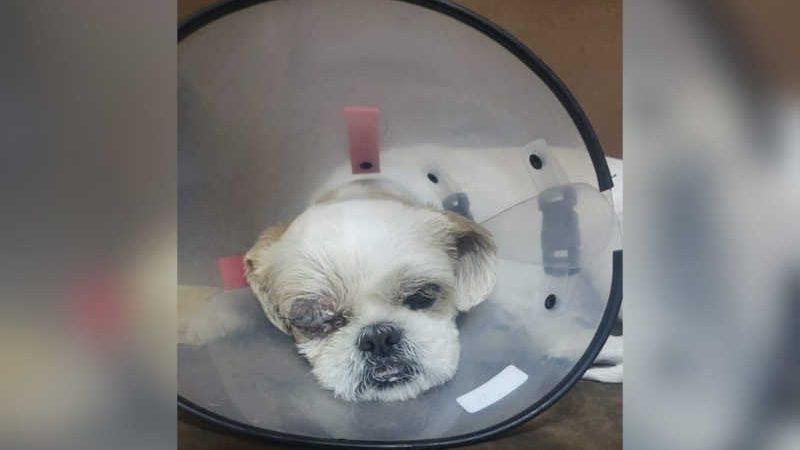 Cão passa por cirurgia após ser agredido com pauladas em Sorocaba (SP) — Foto: Arquivo pessoal