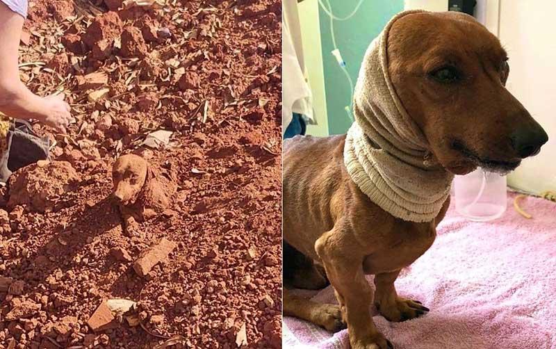 Cachorro que foi enterrado vivo passa por cirurgia de cinco horas para reconstrução do pescoço