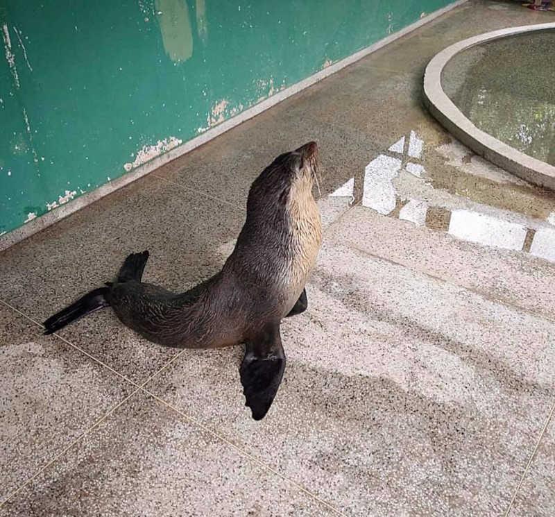 Lobo-marinho resgatado no Maranhão é transferido de avião para tratamento em Ubatuba, SP