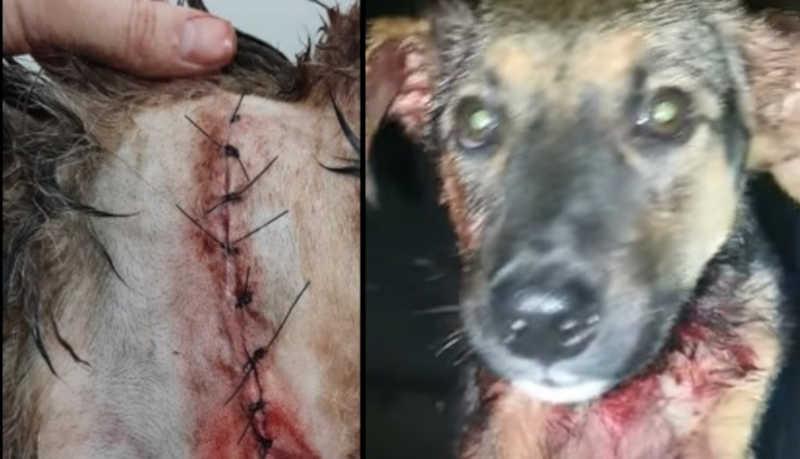 Homem que esfaqueou cão é preso sem fiança. Essa é a 1ª prisão em Botucatu (SP) por maus-tratos contra animais