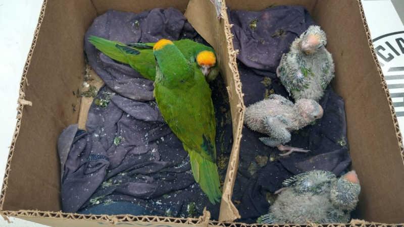 Polícia encontra filhotes de pássaros silvestres em caixa de papelão em Ribeirão Preto, SP