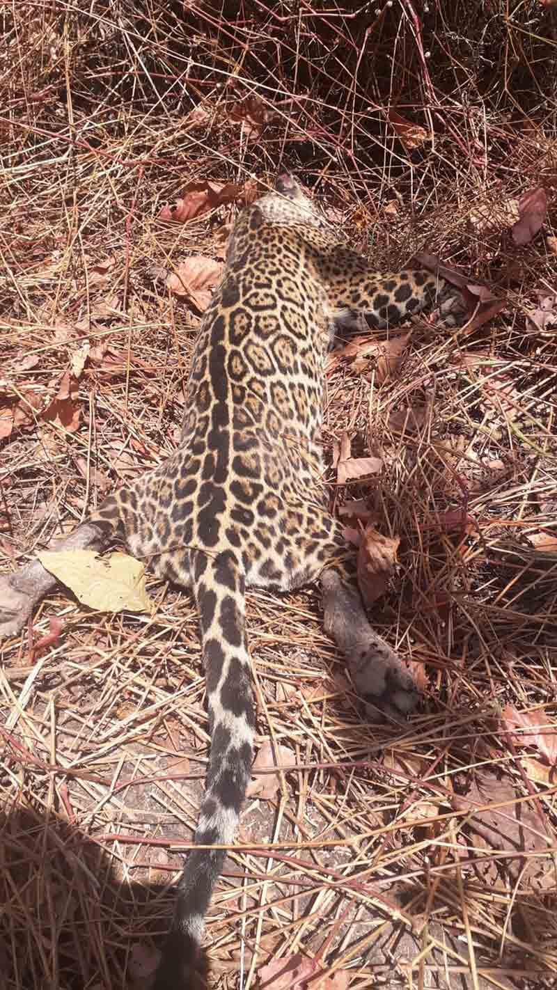 Filhote de onça-pintada é encontrado morto na zona rural de Peixe — Foto: Divulgação