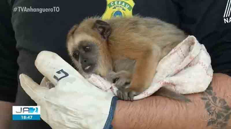 Macaco foi resgatado após se perder da mãe durante queimada — Foto: Reprodução/TV Anhanguera