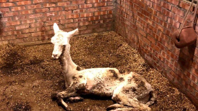 Esta alpaca supostamente morreu de desnutrição no Rancho Jingyuan de Kaohsiung / Foto da Taiwan Animal Equality Association