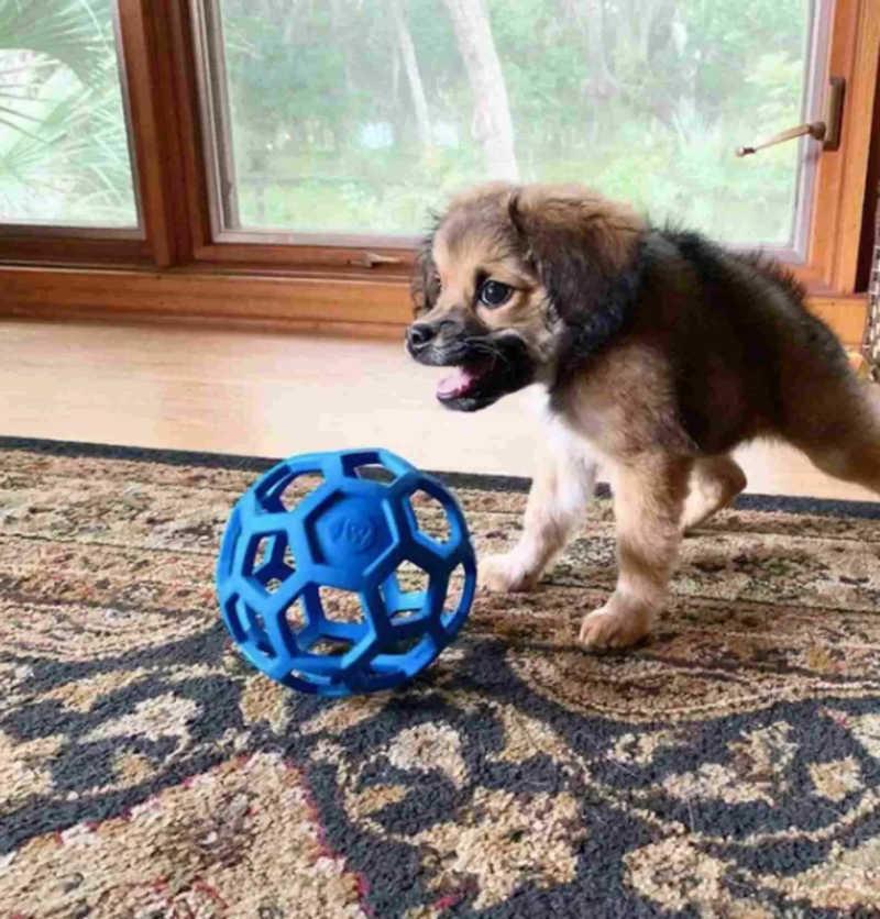Cachorro que nasceu com a coluna curta é adotado por mulher que fará de tudo para vê-lo feliz