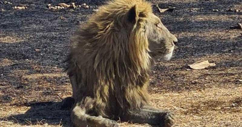 30 leões são eutanasiados após incêndios na África em caso chocante de crueldade animal
