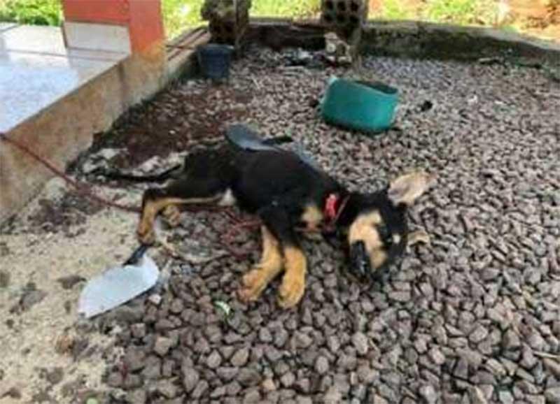 Cão de 3 meses morre de fome e sede em Maravilha (SC) e responsáveis vão responder por maus-tratos