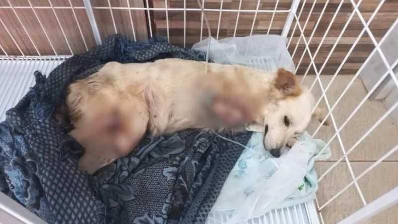 Cadela que teve duas patas amputadas por falso médico veterinário, em Macapá — Foto: Polícia Civil/Divulgação