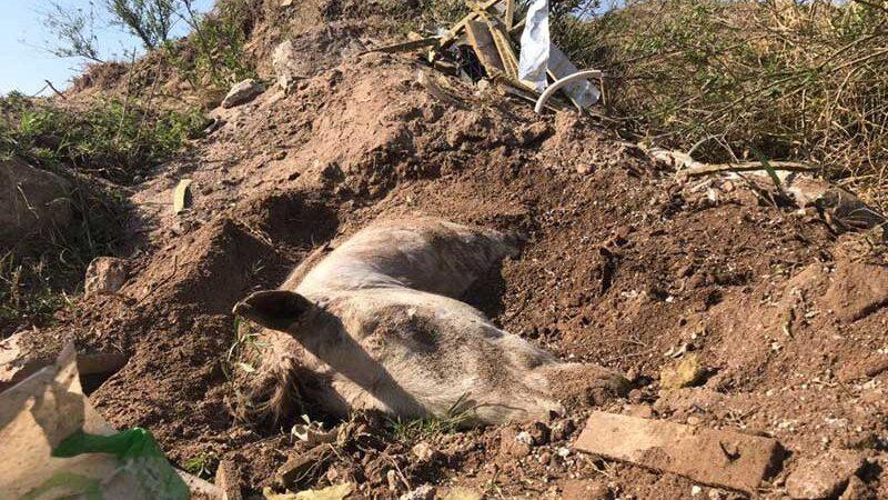 O animal estava embaixo desta montanha, os jovens o encontraram pela cabeça.