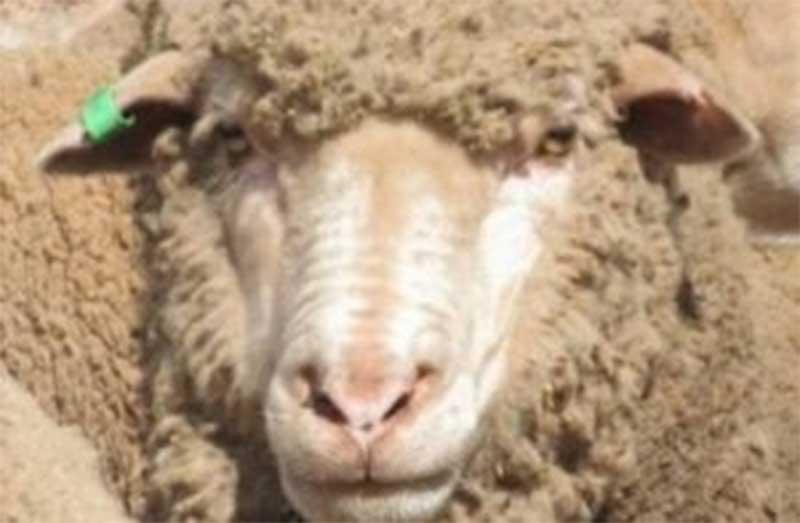 Criador de ovelhas é condenado por crueldade contra animais na Austrália