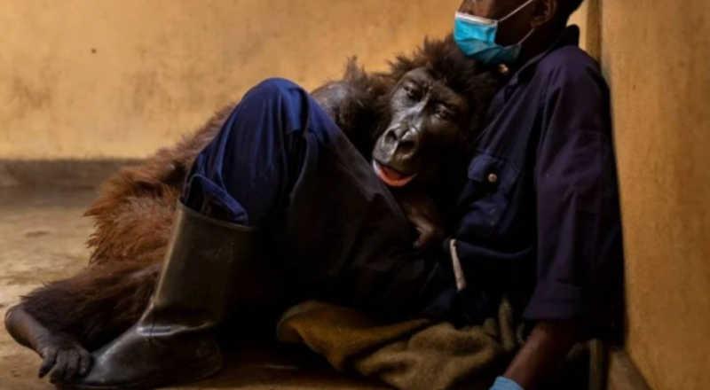 Gorila que viralizou em selfie morre nos braços de tratador: 'Um privilégio'