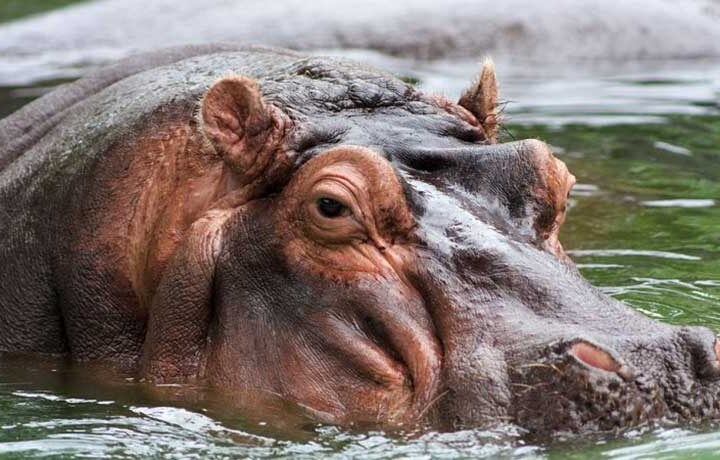 O grupo de hipopótamos, mais uma parte do indesejado legado deixado na Colômbia pelo traficante de droga Pablo Escobar, está a ser esterilizado. RoyFocker 12 / Wikimedia