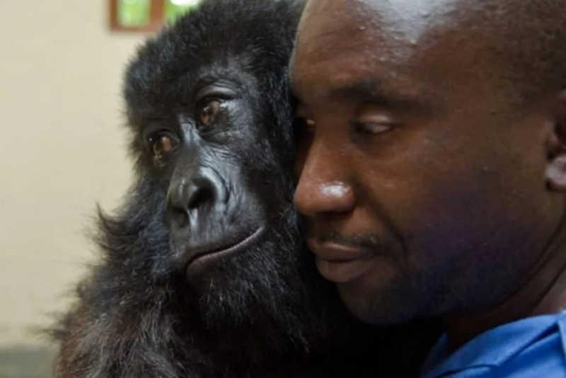Ndakasi, que morreu aos 14 anos, foi salva por guardas de Virunga quando tinha dois meses de idade
