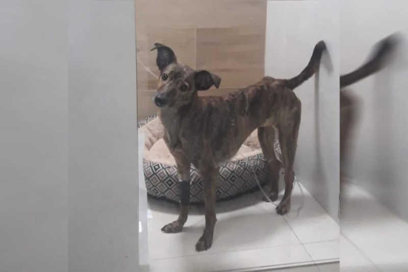 Segundo os voluntários, sem tratamento, o cão iria morrer - Material cedido ao Metrópoles