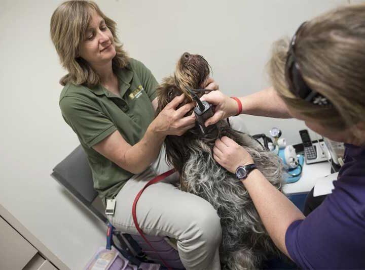As técnicas de saúde animal Sasha Hickman-Beoshanz, à esquerda, e Dyne Handing se preparam para tirar sangue de Merlyn, um cão da raça pointer, no Hospital Veterinário da Universidade da Califórnia, em Davis, como parte de um programa de doação voluntária.