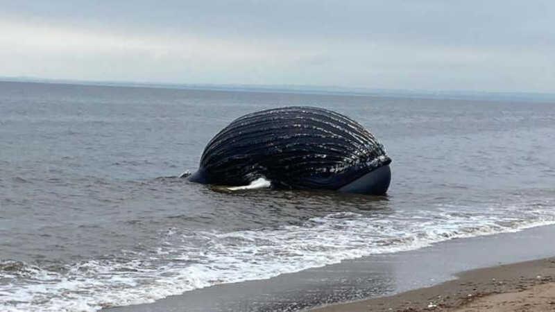 Morte de baleia-jubarte nos EUA pode ter sido causada por humanos, dizem especialistas