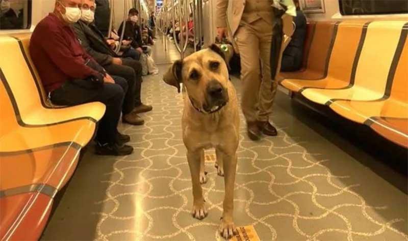 Cachorro chama atenção por usar transporte público diariamente em Istambul