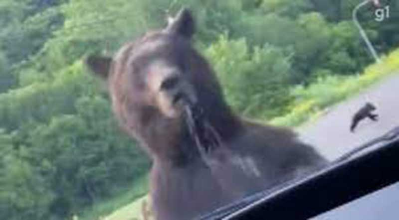 Urso avança contra carro no Japão para proteger filhotes; veja vídeo