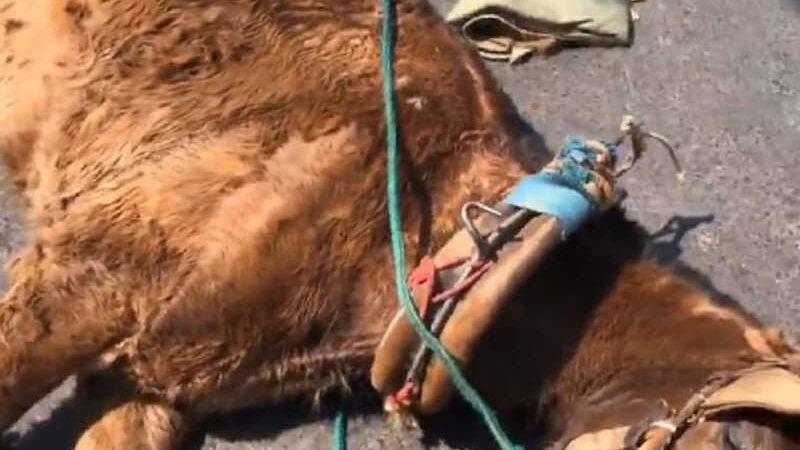 Cavalo após cair na rua em Montes Claros — Foto: Redes sociais