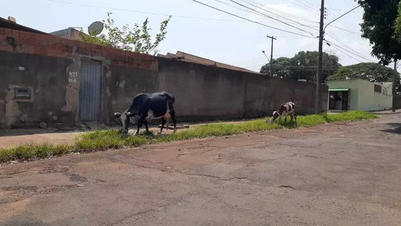 Animais pastavam livremente esta manhã. (Foto: Redes sociais)