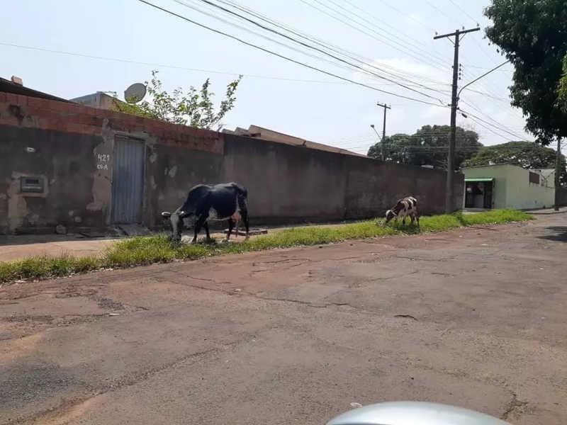 Moradores ameaçam 'carnear' vacas soltas e CCZ recolhe animais em Campo Grande, MS