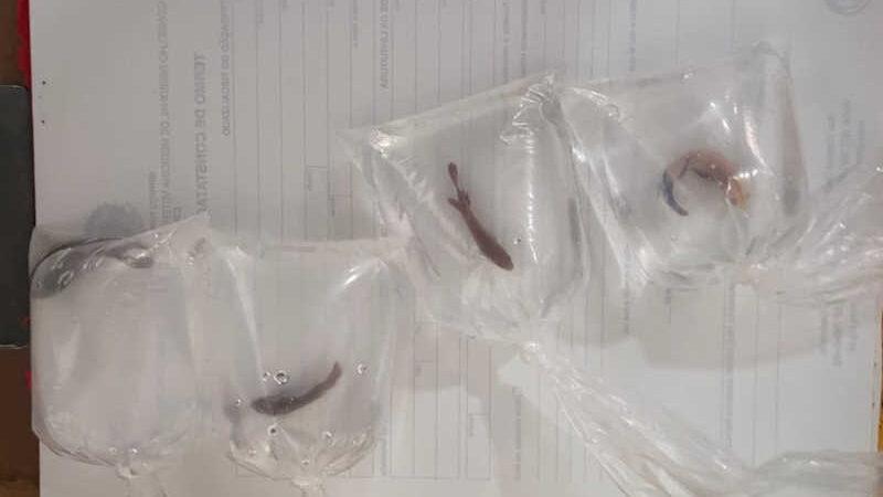 Peixes resgatados em sacos plásticos. — Foto: UCDB