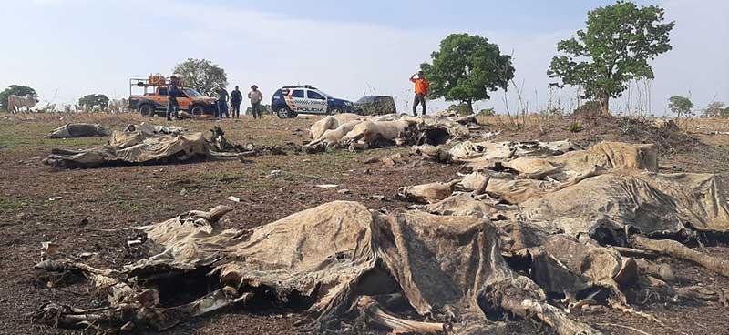 Policiais militares encontraram, nesta quinta-feira (7), 40 bois mortos e outros desnutridos em uma propriedade rural em Araguaiana (MT) — Foto: PMMT