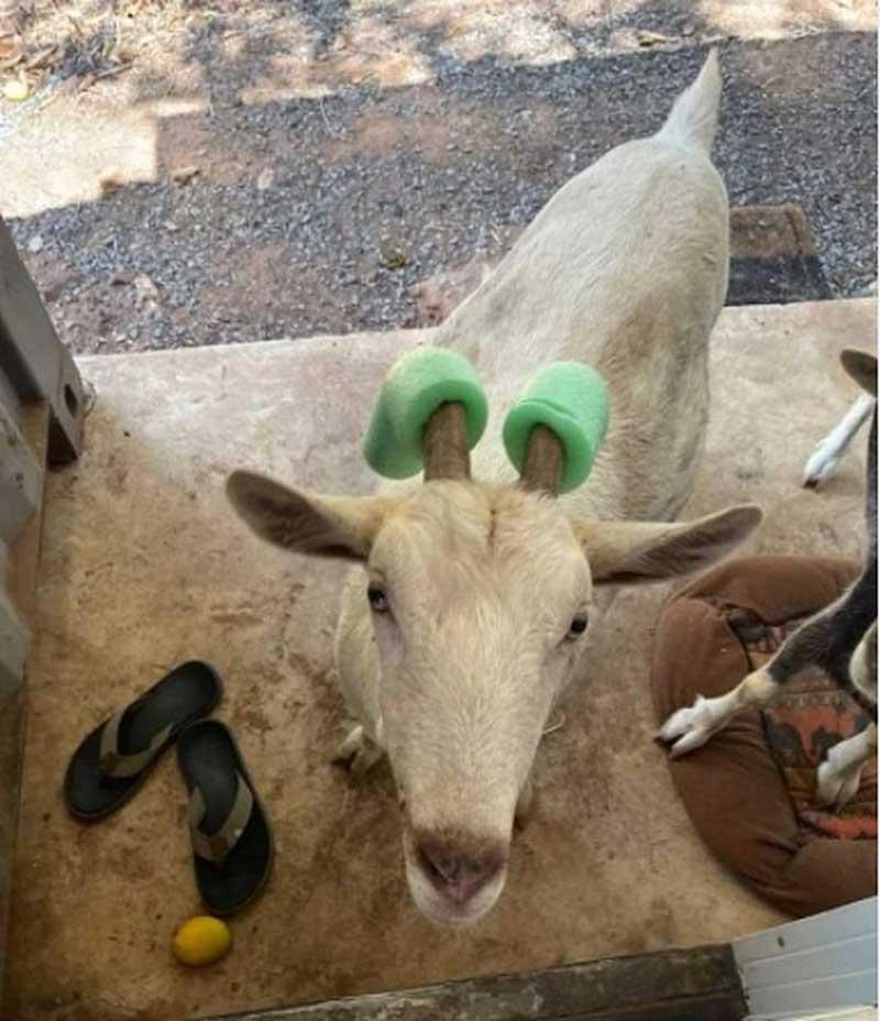 Cabra adotada pelo Santuário dos Elefantes de MT ganha novo acessório nos chifres por ser 'temperamental'