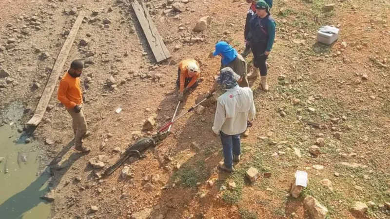 Cerca de 70 jacarés desnutridos e desidratados foram translocados de um corixo seco do Rio Pixaim, em Poconé (Mato Grosso) Foto: Ecotrópica/Divulgação / Estadão