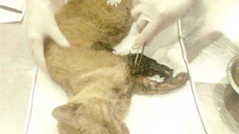 Criminosos amarram arames em perna de gato e ferida se infecciona com vermes