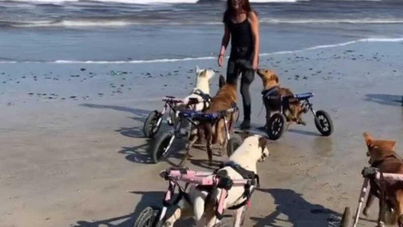 Cães com mobilidade reduzida vão à praia Facebook: SFT - Animal Sanctuary