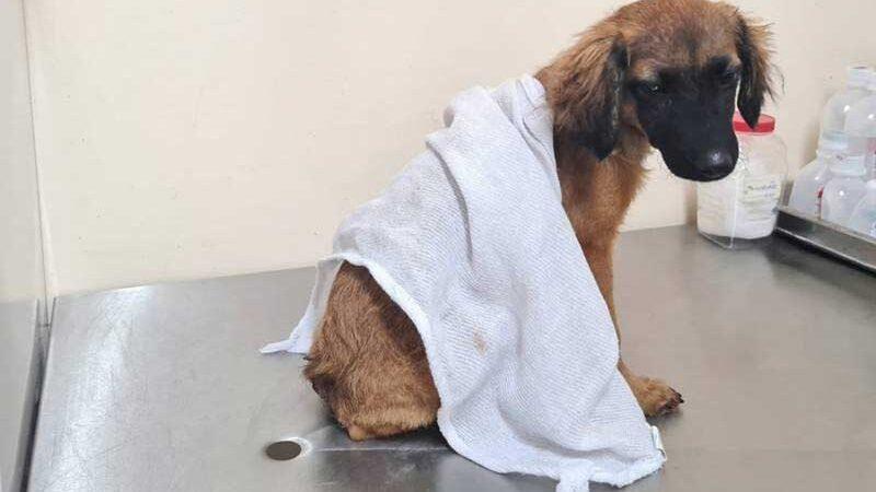 Cão teve rabo cortado com faca e sem preparo, segundo polícia; tutor foi preso em Belém — Foto: Polícia Civil/Divulgação