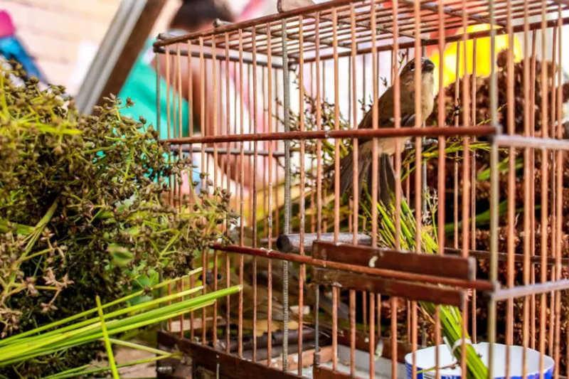 Pássaros silvestres são apreendidos em operação policial contra maus-tratos de animais, na Grande Belém
