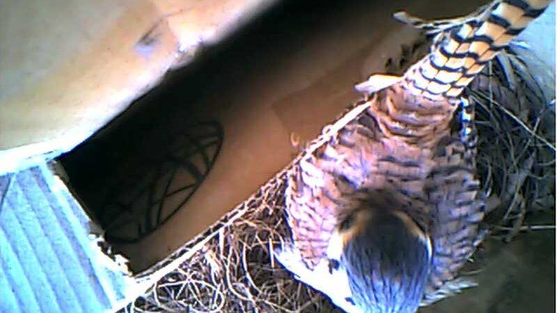 Gavião passa a maior parte do dia no ninho que fez em apartamento na PB — Foto: Nathanael Nunes/Arquivo pessoal