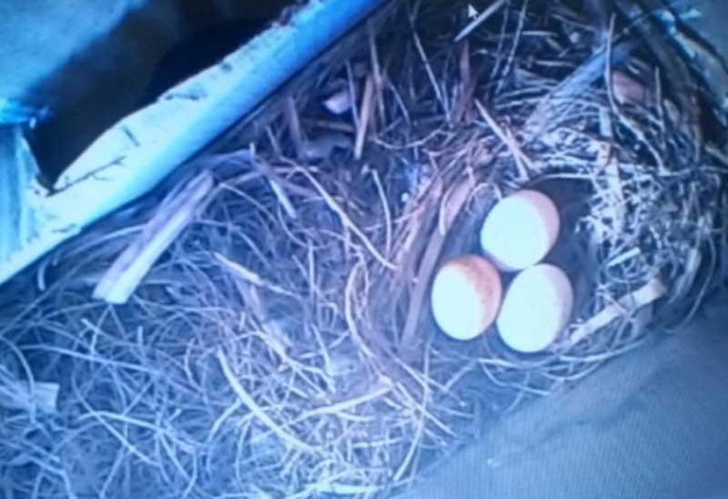 Ovos que gavião colocou em ninho dentro de uma caixa de ar-condicionado na PB — Foto: Nathanael Nunes / Arquivo pessoal