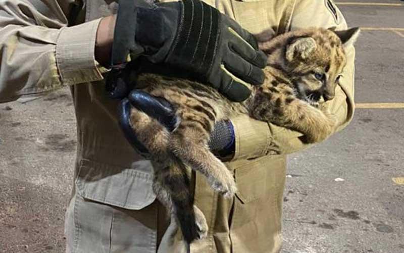 Onça suçuarana filhote — Foto: Reprodução/Corpo de Bombeiros