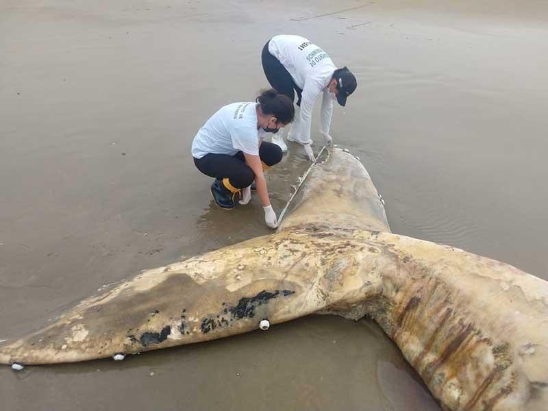Representantes de projeto fazem medição da cauda da baleia encalhada em Jaguaruna — Foto: Projeto EducaMar/Divulgação