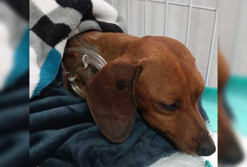 Após cirurgia de reconstrução, cachorro que foi enterrado vivo em Tatuí (SP) se alimenta com ajuda de sonda — Foto: União Protetora do Animais/Divulgação
