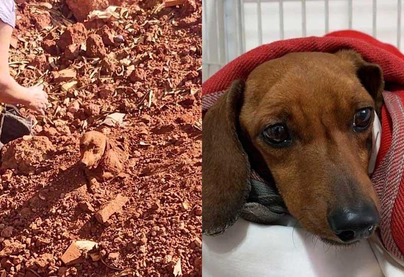 Cachorro enterrado vivo contrai bactéria e deve passar por nova cirurgia: 'Enquanto há vida, há esperança', diz ONG