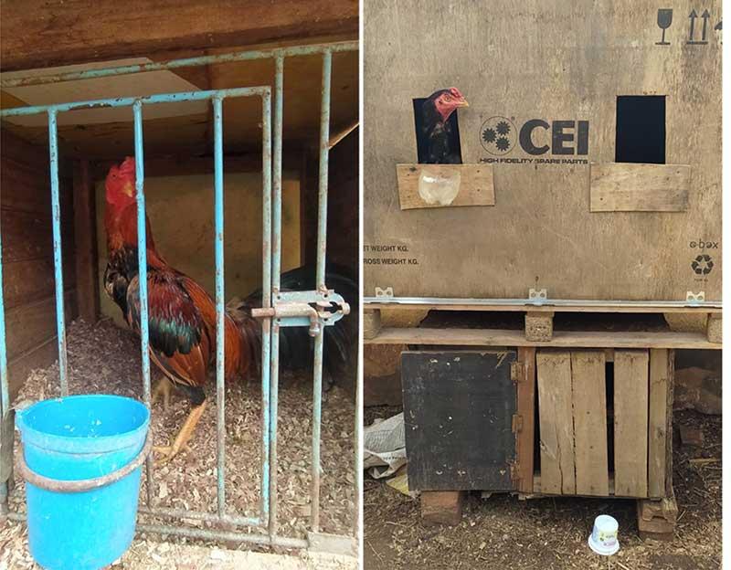 Galos estavam em local sem alimentação e água e também sem ventilação — Foto: Polícia Ambiental/Divulgação